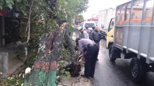 Hujan deras pohon kersen dipeti jalan tumbang