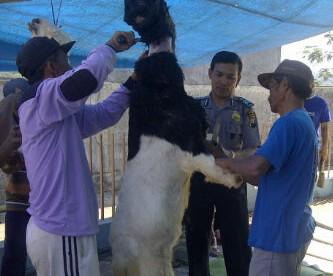 Polmas Turun membantu penyembelihan hewan qurban